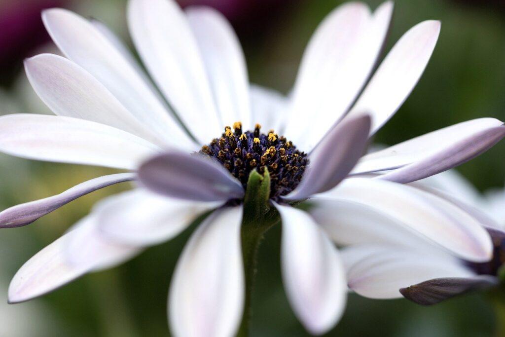 marguerite, flower, plant